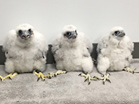 Three baby falcons